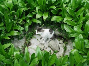 herbe-a-chat